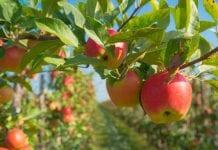 Prognozy jabłkowe Rosji