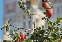 W Rosji więcej własnych jabłek