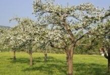 Na Suwalszczyźnie powstaną sady ze starymi odmianami jabłoni i grusz