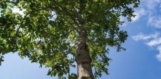 Laser powie, jak szybko rosną drzewa