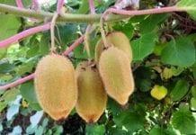 Mniej owoców kiwi
