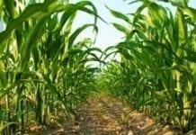 KE wystąpiła o zezwolenie na uprawę kukurydzy GMO 1507