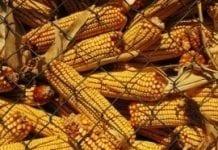 PE żąda zakazu uprawiania kukurydzy GMO 1507