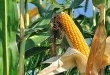 Rząd zajmie się zakazem upraw GMO