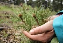 Do 17 sierpnia ARiMR przyjmuje wnioski na zalesianie