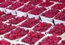 Polska jest czołowym producentem malin w świecie