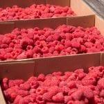 Ukraińska malina tanieje, ale ciągle jest droższa niż przed rokiem