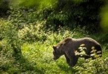 W Bieszczadach odnawiają i sadzą sady dla niedźwiedzi