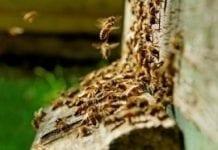 W Nadleśnictwie Barlinek rodzime pszczoły wracają do lasów