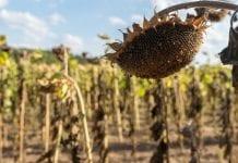 Mazowsze silnie zagrożone suszą rolniczą i hydrologiczną