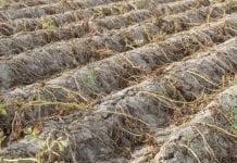 Niemieccy rolnicy otrzymają 340 milionów euro pomocy suszowej