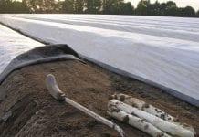 Holenderska produkcja szparagów rośnie