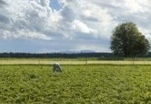 Słaby sezon dla producentów truskawek