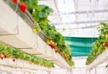 LED-y dla jagodowych
