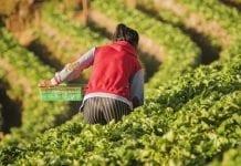 Rolnictwo i turystyka czekają na dyrektywę o pracownikach sezonowych