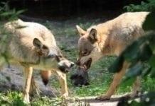 150 tys. zł za szkody wyrządzone przez bobry i wilki w Lubuskiem