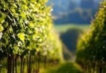 We Francji zbiory winogron zapowiadają się słabo