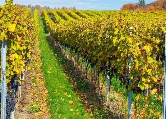 W Polsce jest już ponad 200 winnic