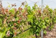 Szkody w podkarpackich winnicach po zimowych i wiosennych mrozach