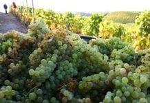 """""""Historycznie słaby rok"""" europejskich winiarzy"""