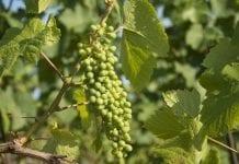 Rozpoczyna się zwiedzanie małopolskich winnic