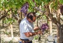Dobre zbiory winogron we Włoszech