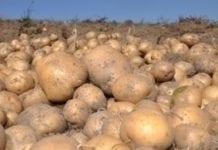 Specjaliści testują odmiany ziemniaka