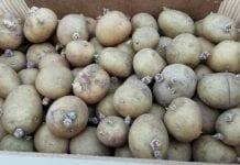 Powstrzymuje wzrost kiełków ziemniaka