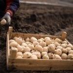Będzie mniejszy import sadzeniaków do Rosji