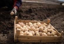 Kłopoty z sadzeniakami
