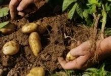 Mała bioróżnorodność zagraża bezpieczeństwu żywności