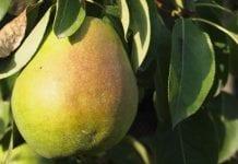 Turcja: zbiory jabłek wzrosną do 3 mln ton, a gruszek do 450 tys. ton