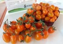 Srebrny medal za pomarańczowe pomidory