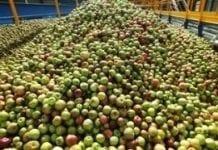 Produkcja cydru szansą na zagospodarowanie nadwyżek jabłek?