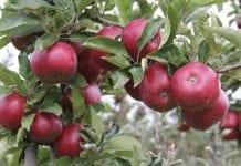 Rosja znosi embargo na jabłka z Bośni i Hercegowiny