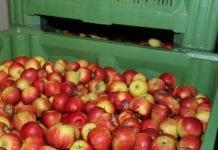 """W Rosji zniszczono 150 ton jabłek """"z Białorusi"""""""