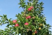 Rosyjscy inspektorzy sprawdzą produkcję jabłek Bośni i Hercegowiny