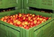 Powiadomienia o wycofaniu jabłek przyjmowano jeden dzień