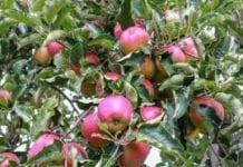 75 tys. litrów soku jabłkowego dziennie z Sadu Sandomierskiego