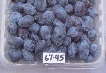 Nowe odmiany jagody kamczackiej z francuskiej szkółki