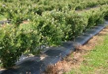 Hiszpania: nielegalne uprawy borówki