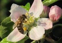 EFSA: Neonikotynoidy są szkodliwe dla pszczół. Copa-Cogeca odpowiada