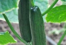 Magnit produkuje coraz więcej warzyw