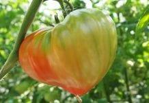 Pomidory na Sycylii – nowości odmianowe i fatalne ceny owoców