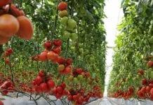 Prognoza dla produkcji pomidorów w UE