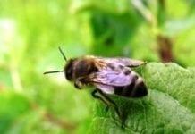Pszczoła chce mieć święty spokój