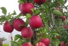 W Instytucie Ogrodnictwa wyhodowano ponad 200 odmian roślin