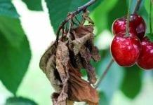 PORS 2017 – uzupełnienie dla owoców pestkowych i ziarnkowych