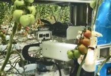 Skonstruowano robota do zbioru pomidorów