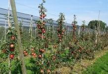 Kazachstan: zbiory jabłek i dopłaty do produkcji